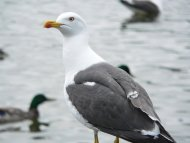 Heringsirály. Larus fuscus
