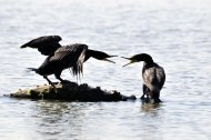 kárókatonák, Phalacrocorax carbo